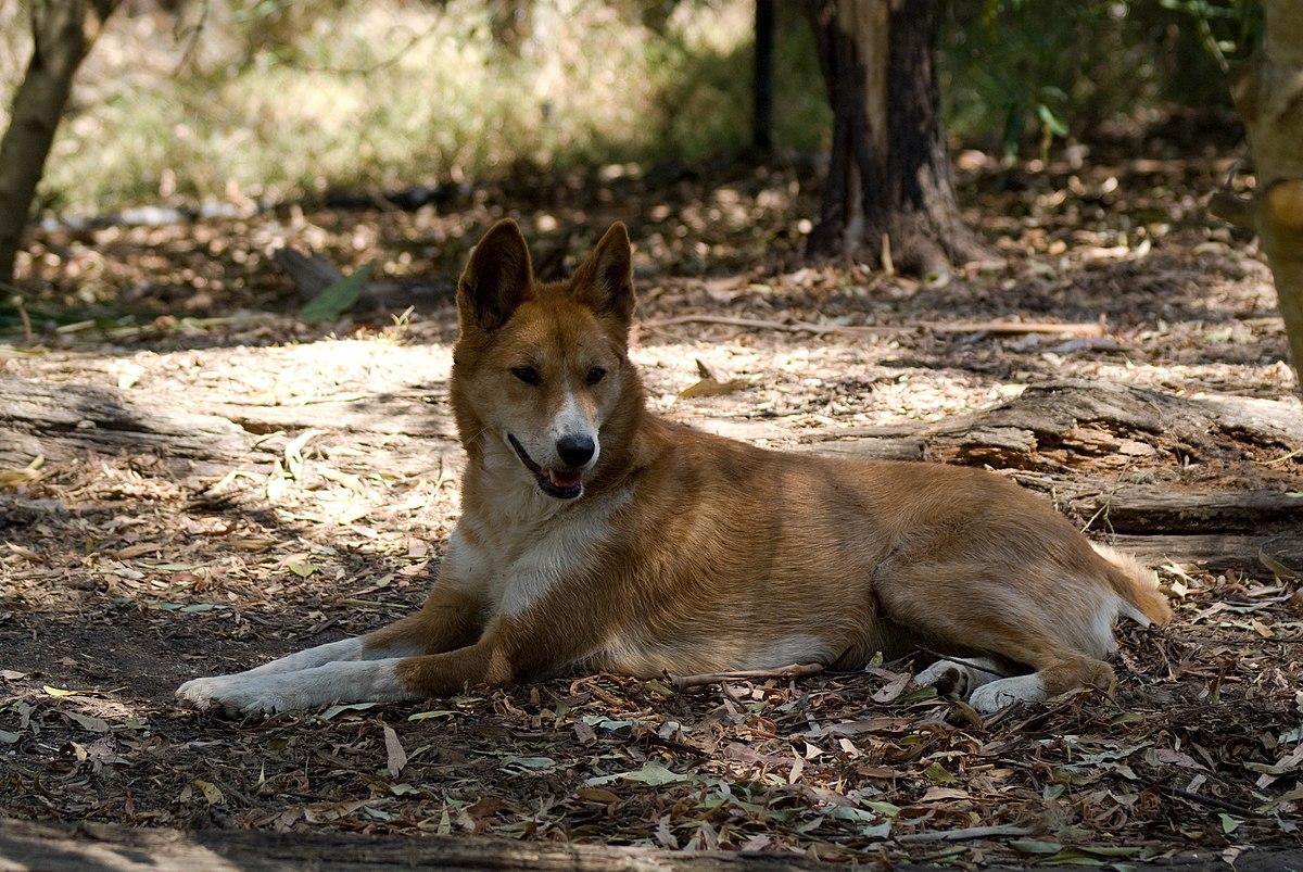 Cute Puppy Live Wallpaper Dingo Dog Hybrid Wikipedia