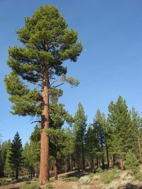 Pinus jeffreyi - Wikipedia