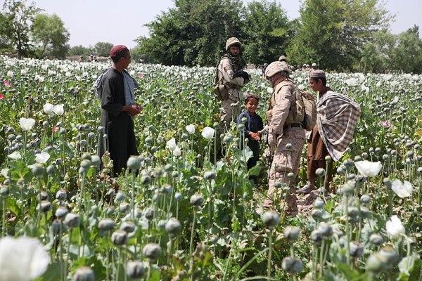 File:Opium poppies in Helmand -a.jpg