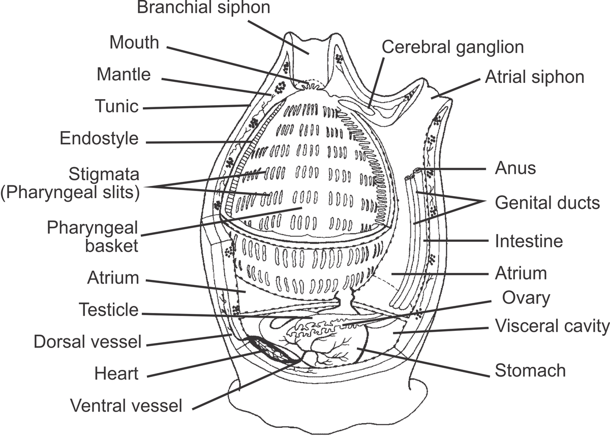 Lamprey Diagram List Of Tunicates Of Ireland Wikipedia
