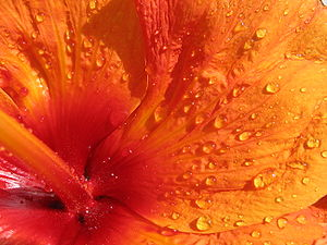 Close up of hibiscus petal, probably Hibiscus ...