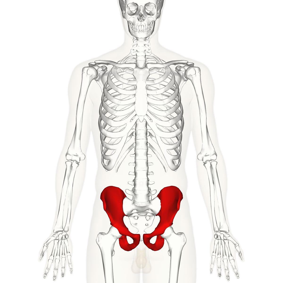 diagram of coxae bone
