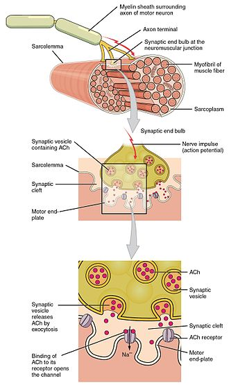 End-plate potential - Wikipedia - neuromuscular junction
