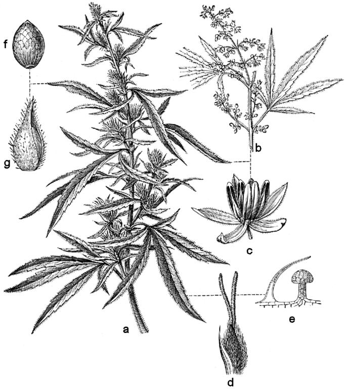 weed plant diagram