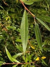 de: Blatt der Silber-Weide (Salix alba), Ort: ...