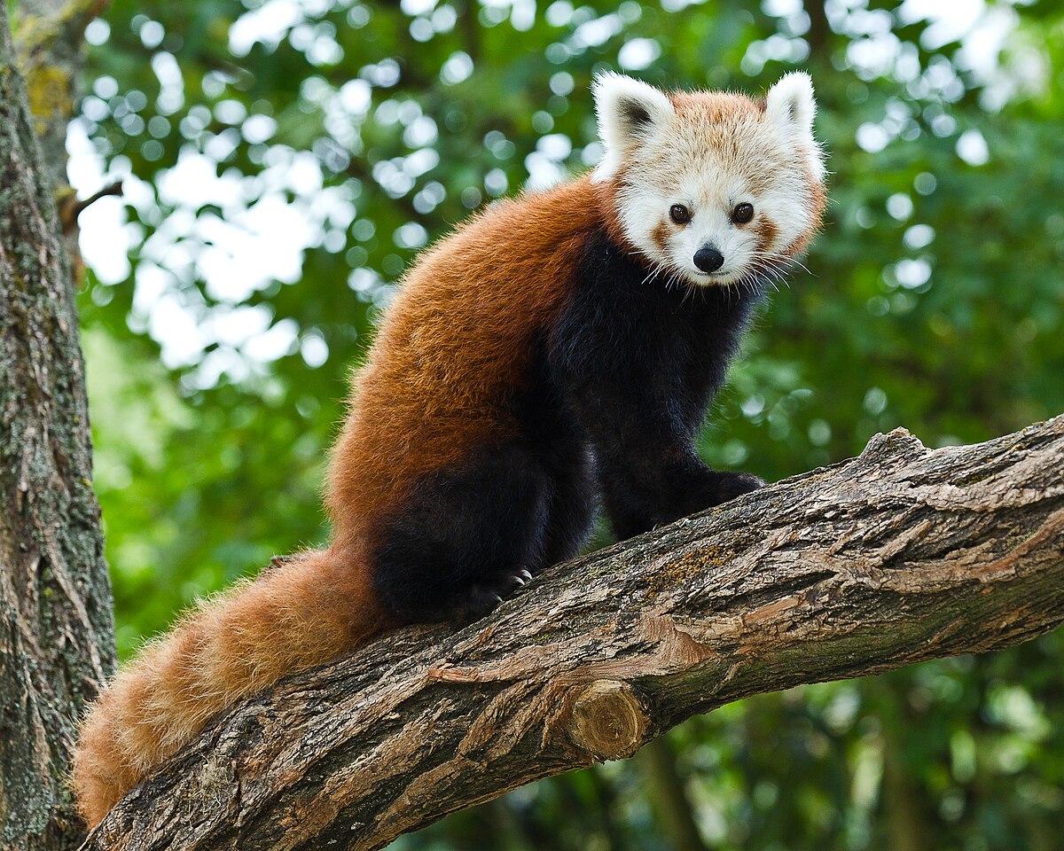 Cute Baby Hd Wallpaper Panda červen 225 Wikipedie