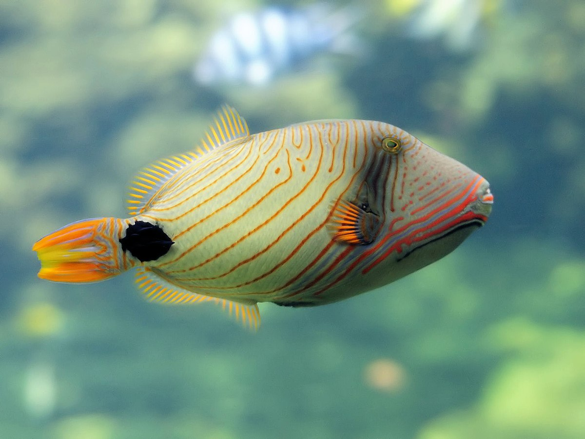 M Name Wallpaper Hd Orange Lined Triggerfish Wikipedia