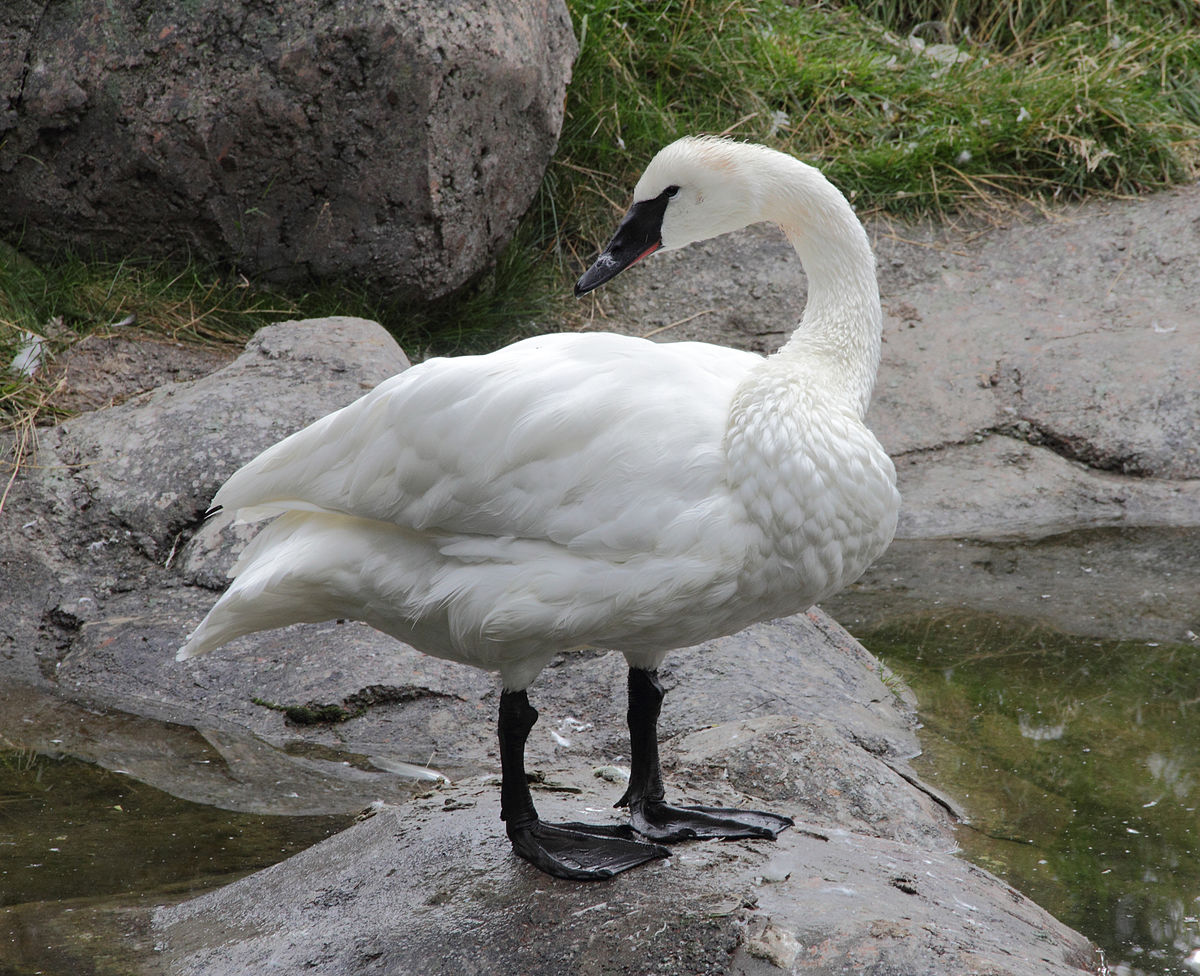 Fall Bird Wallpaper Trumpeter Swan Wikipedia