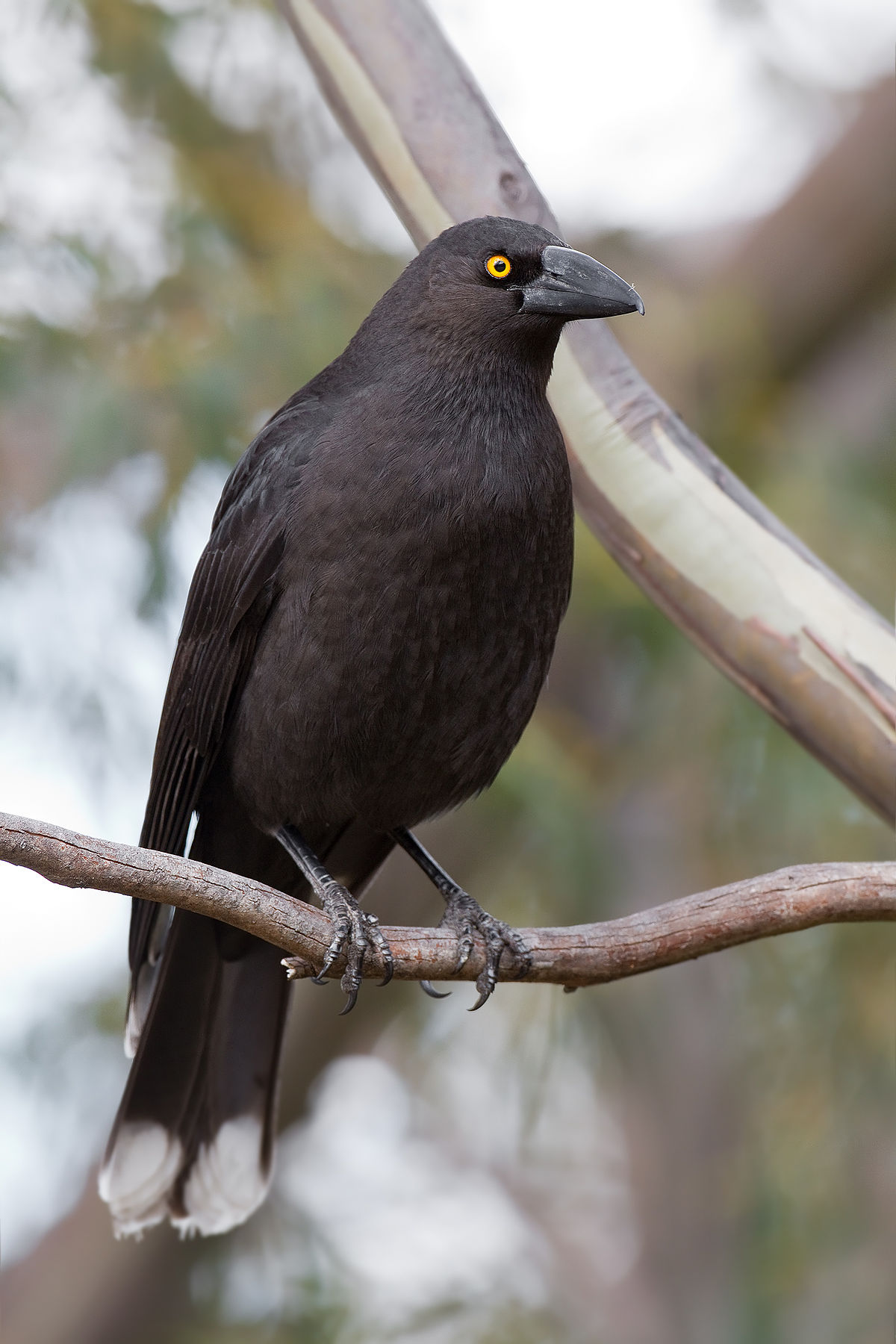 Vogel Schwarz Black Currawong - Wikipedia
