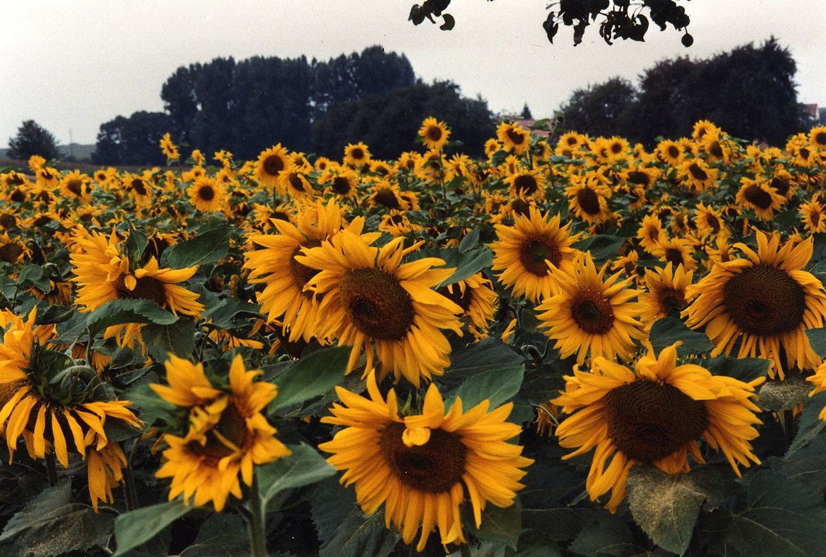 Large Hd Wallpapers For Laptop Sunflower Wiktionary Tiếng Việt