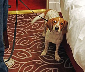 English: Bedbug sniffing Dog, New York