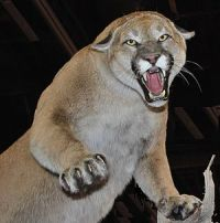 North Amerian Cougar