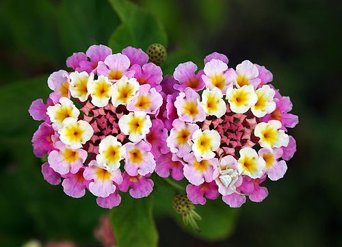 500px Twin Lantana Camara Edit Top 10 Most Beautiful Flowers In The World