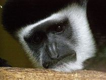 A Mantled Guereza, close-up, looking sad