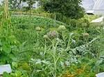 The 'vegetable garden' at Eden, with Cynara ca...