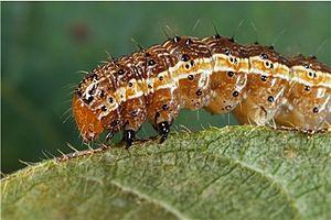 Spodoptera frugiperda (fall armyworm)