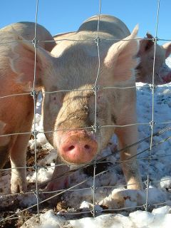 Pigs from WikiMedia - Click for Attribution