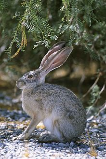 Cute White Baby Rabbits Wallpapers Hare Wikipedia