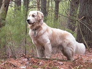 A male Golden Retriever named Tucker.