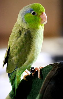 Cute Parakeet Wallpaper Parrotlet Wikipedia