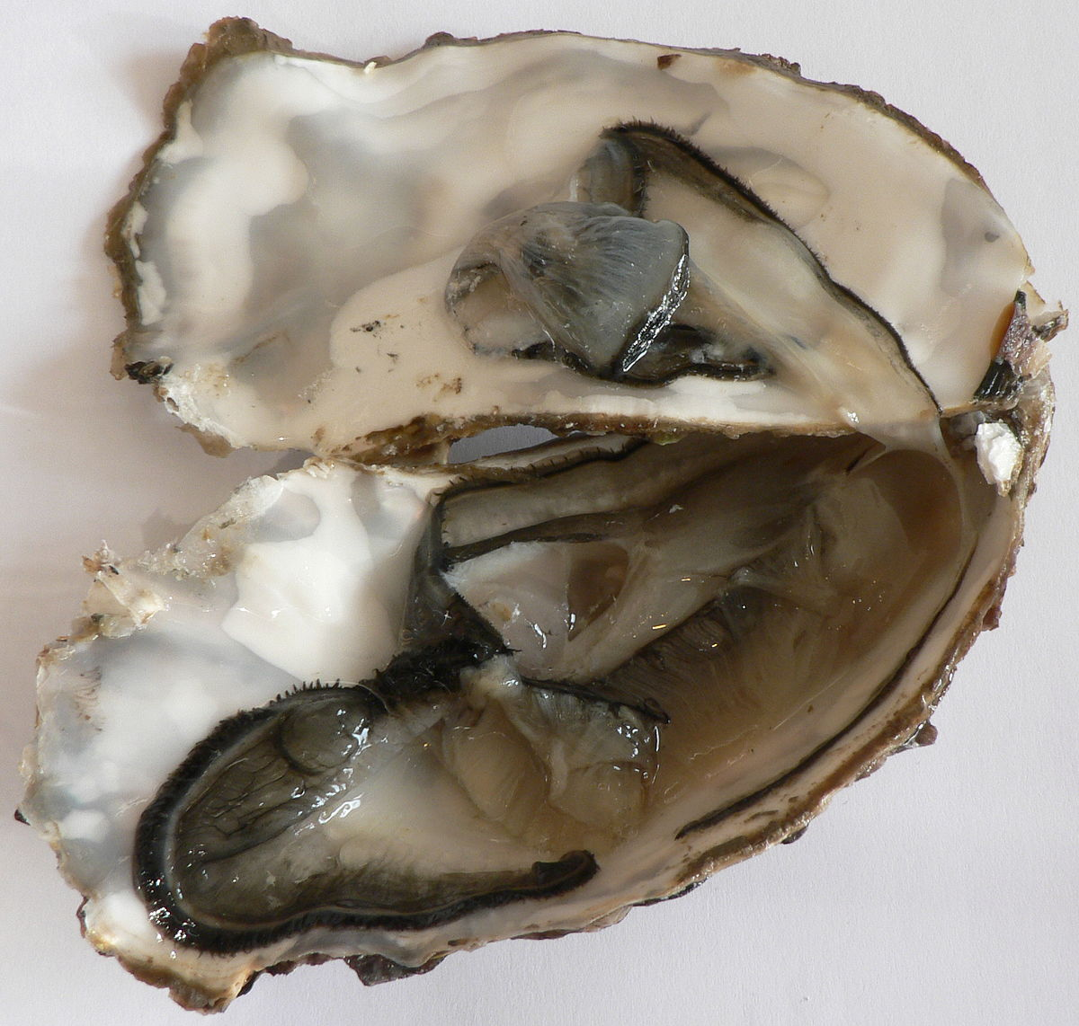 Cucina Definition Latin Oyster Wiktionary