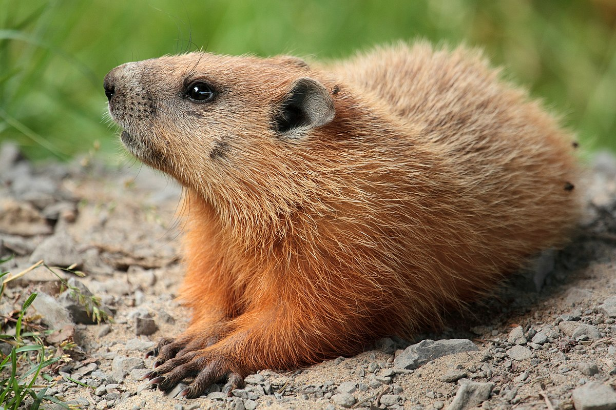Groundhogs Groundhog Wikipedia
