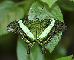 Wallpaper Of Water Fall Papilio Palinurus Wikip 233 Dia