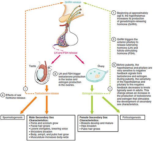Luteinizing hormone - Wikipedia