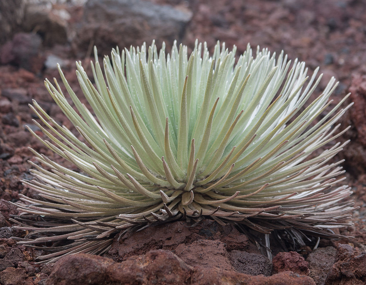 Cool Looking Plants File Cool Looking Plant At Haleakala Crater 8017322284