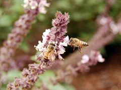 Bees pollinating a basil (?) plant. I had a ha...