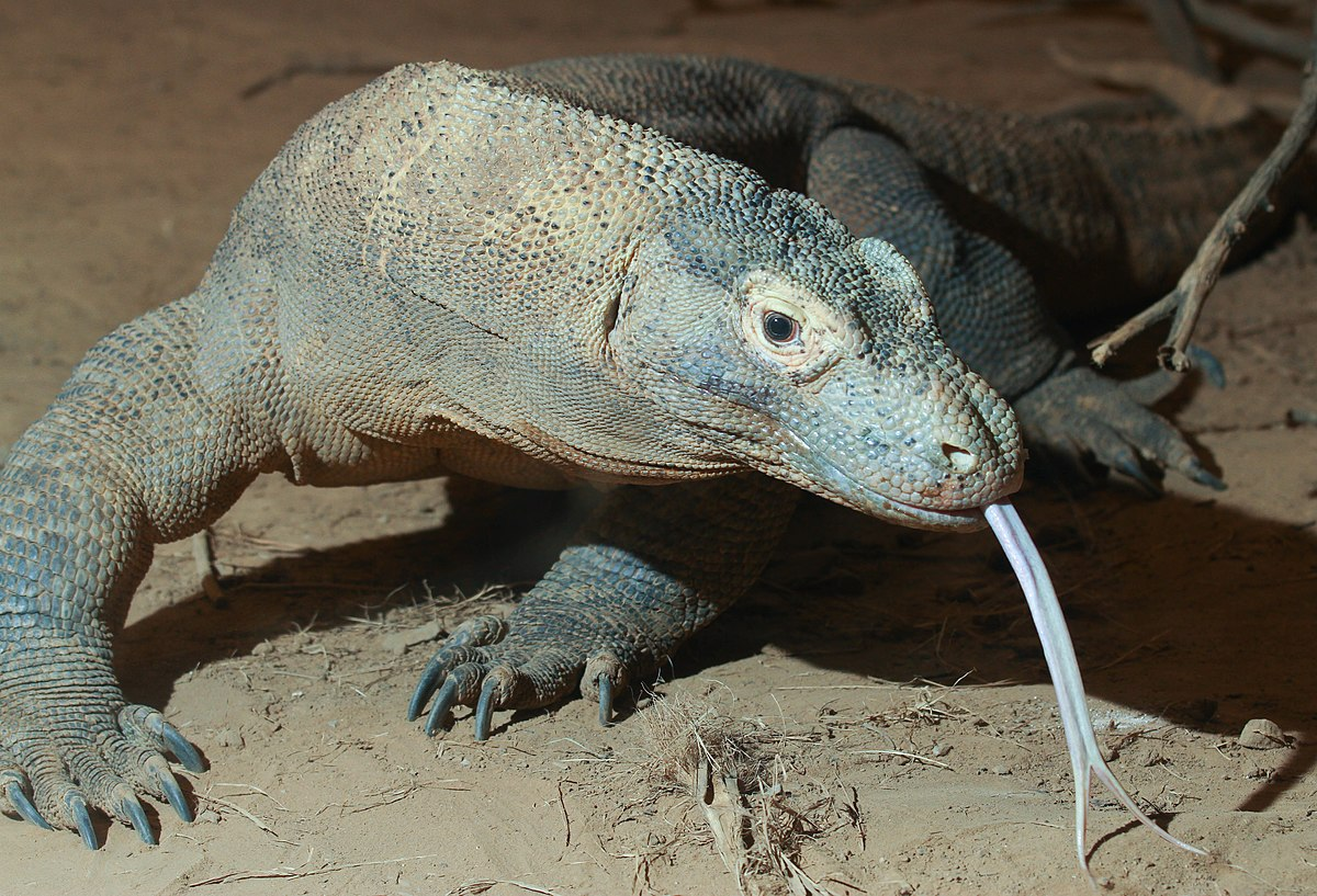 Komodo Dragon Wikipedia