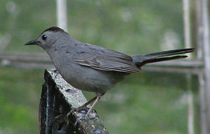 Field Guide Birds Eastern Us And Canada Wikibooks Open