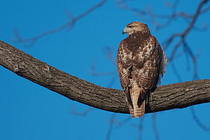 A red-tail hawk (Buteo jamaicensis), taken in ...