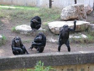 Chimpanzee a2