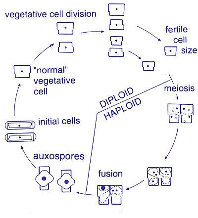 Diatom - Wikiwand
