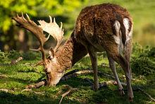 Cute Winter Wallpaper Hd Fallow Deer Wikipedia