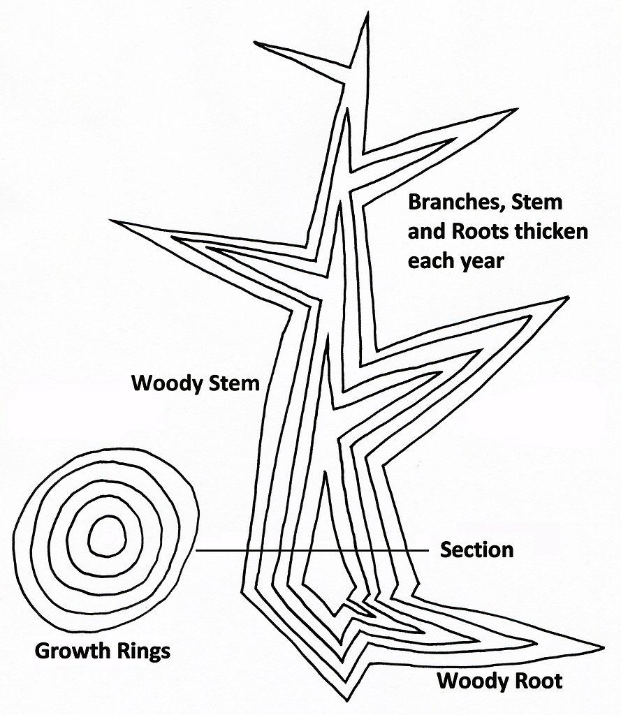diagram of secondary growth in a tree showing idealised vertical and