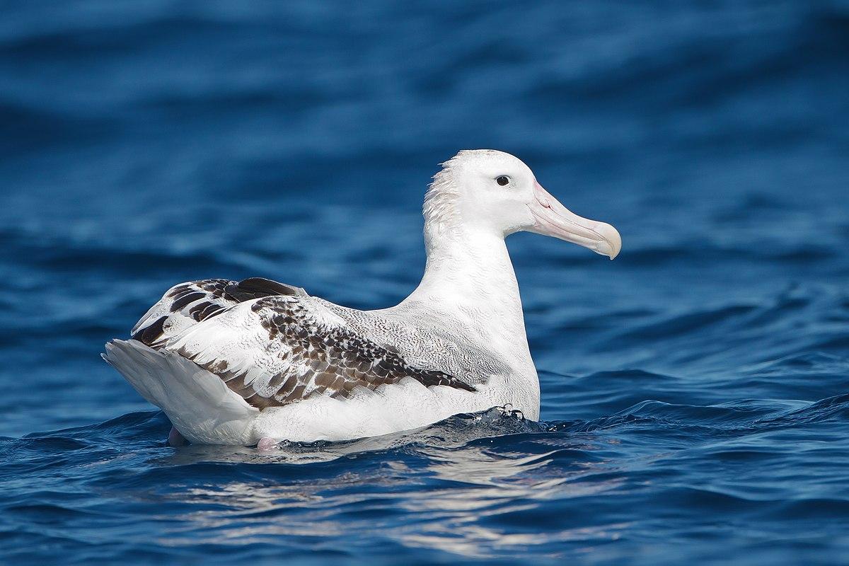 Wandering Albatross Wikipedia