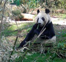 File:Panda-chapultepec.jpg