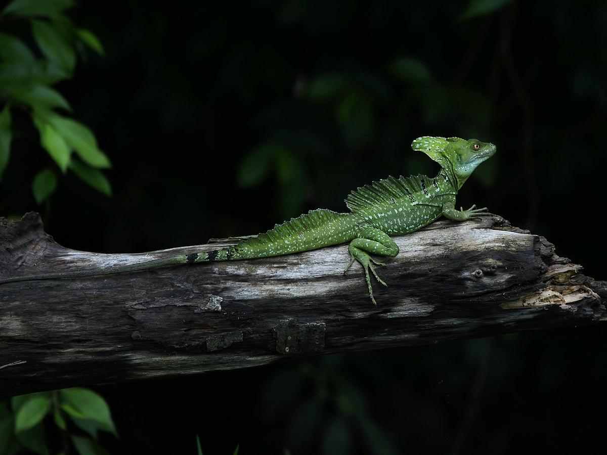 Green Animal Wallpaper Basiliscus Genre Wikip 233 Dia