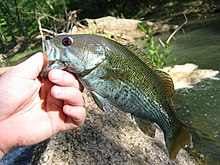 Typical Redeye Bass from a stream in the Coosa River watershed, N