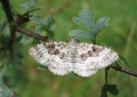 Common carpet - Wikipedia
