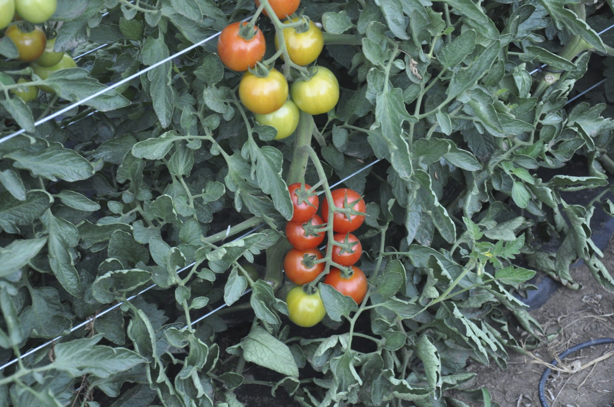 Tomato Wuppertal List Of Tomato Cultivars The Complete Information And Online