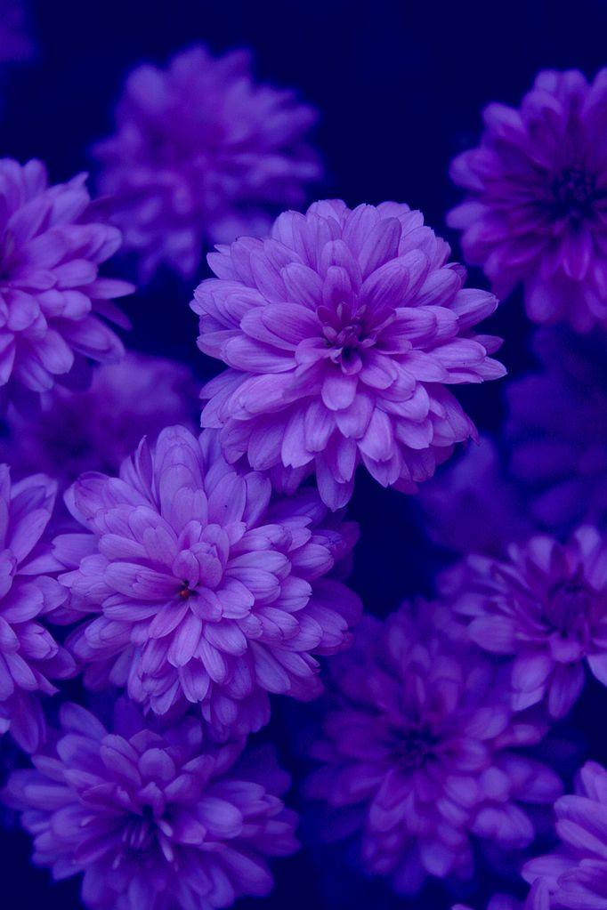 FileMidnight\u0027s Garden indigo purple blue flowers free creative