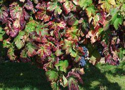 Français : Carignan, Conservatoire du vignoble...