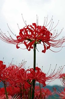 Cluster amaryllis close-up.jpg