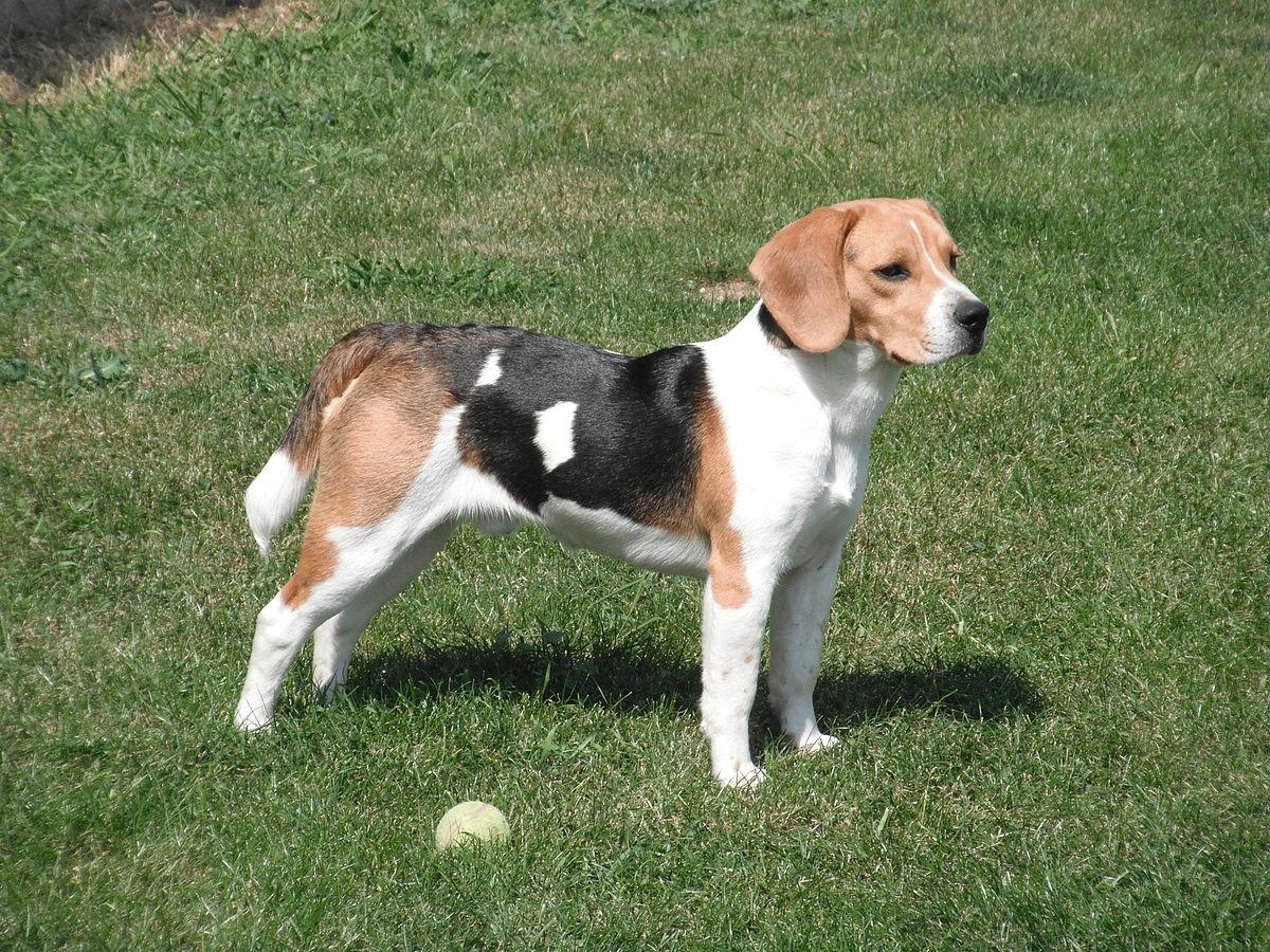 Beagle Wikipedia La Enciclopedia Libre