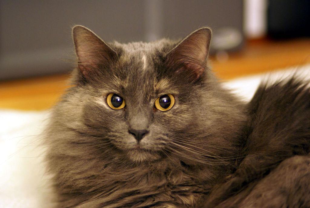 Wallpaper Hd Girl Beautiful File Cat With Yellow Eyes Jpg Wikimedia Commons