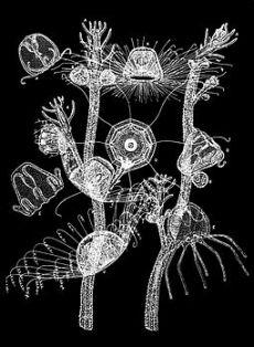 PSM V33 D765 Turritopsis