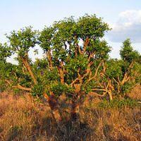 Yerba Mate (ilex paraguariensis) verhindert Krebs und Diabetes
